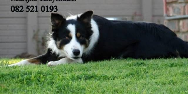 Registered Border Collies in Still bay SASDA -Geregistreerde Skaaphonde in Stilbaai